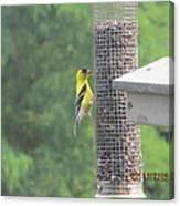 Yellow Bird Feeding Canvas Print