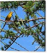Yellow Bird In A Juniper Tree Canvas Print