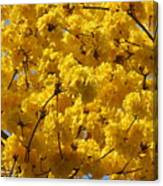 Yellow Blossoms Of A Tabebuia Tree Canvas Print