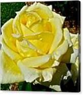Yellow Bob Berry Rose Canvas Print