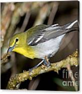 Yellow-breasted Vireo Canvas Print