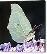Yellow Brimstone Canvas Print