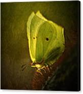 Yellow Butterfly Sitting On The Moss  Canvas Print