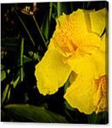 Yellow Canna Singapore Flower Canvas Print