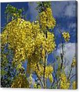 Yellow Cassia Canvas Print