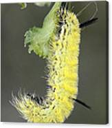 Yellow Caterpillar 1 Canvas Print