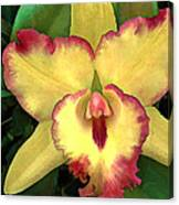 Yellow Cattleya With Red Ruffles Canvas Print