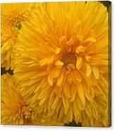 Yellow Chrysanthemums Canvas Print