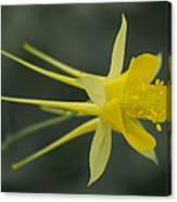 Yellow Columbine Canvas Print