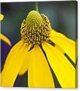 Yellow Coneflower Rudbeckia Canvas Print