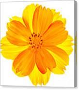 Yellow Cosmos Canvas Print