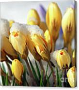 Yellow Crocuses In The Snow Canvas Print