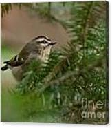 Yellow-crowned Kinglet Canvas Print