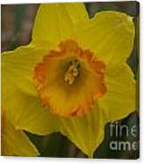 Yellow Daffies Canvas Print