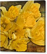 Yellow Daffodils And Texture Canvas Print