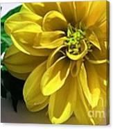Yellow Dahlia Closeup Canvas Print