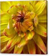 Yellow Dahlia  Canvas Print