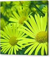 Yellow Daisies Close-up Canvas Print