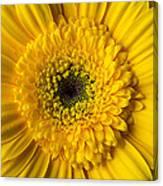 Yellow Daisy Close Up Canvas Print