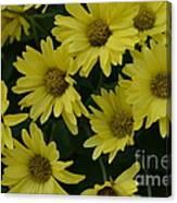 Yellow Daisy Mums Canvas Print