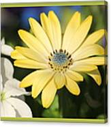 Yellow Daisy With Boarder Canvas Print