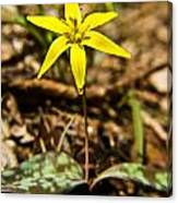 Yellow Dogtooth Trout Lilly Canvas Print
