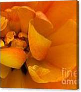 Yellow Double Tulip Canvas Print