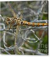Yellow Dragonfly Canvas Print