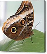 Yellow-edged Giant Owl Butterfly #3 Canvas Print