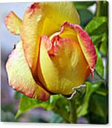 Yellow Edged In Pink Rose Canvas Print