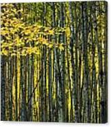 Yellow Fall Birch Leaves Against An Canvas Print