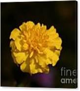 Yellow Fall Flower Canvas Print