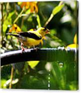 Yellow Finch With A Water Leak Canvas Print
