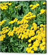 Yellow Flowers 3 Canvas Print