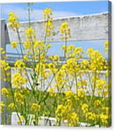 Yellow Flowers And A White Fence Canvas Print