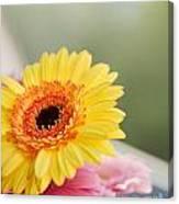 Yellow Gerber Daisy Canvas Print