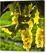 Yellow Grapes In Sunshine Canvas Print