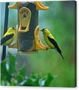 Yellow Grosbeak Duo Canvas Print