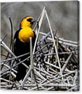 Yellow-headed Blackbird Canvas Print