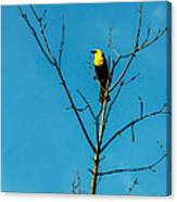 Yellow-headed Blackbird Canvas Print