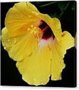 Yellow Hibiscus In The Rain Canvas Print