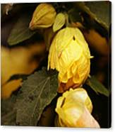 Yellow Hibiscus Late Afternoon Canvas Print