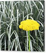 Yellow Immortelle Flower Canvas Print