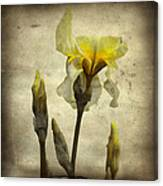 Yellow Iris - Vintage Colors Canvas Print
