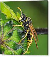 Yellow Jacket Canvas Print
