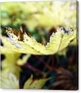 Yellow Japanese Maple Canvas Print