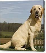 Yellow Labrador Dog Canvas Print