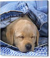 Yellow Labrador Puppy Asleep In Jeans Canvas Print