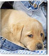 Yellow Labrador Puppy In Jeans Canvas Print