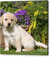 Yellow Labrador Puppy Canvas Print